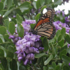 Everyone Loves Texas Mountain Laurel