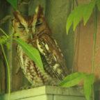 Urban Owls