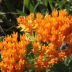 Butterflyweed? Don't Tell That to the Bees!