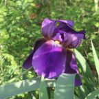 Grandmother's Irises